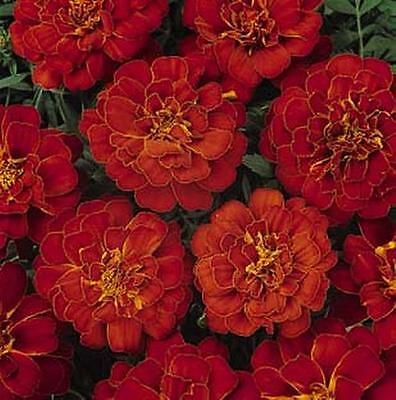 Marigold Seeds - French Aurora Red Annual Seed
