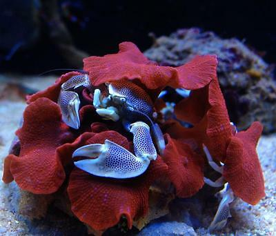 Porcelain Crab Clean up Crew Filter Feeder Marine Livestock Reef Aquarium