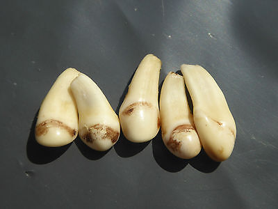 Packet of 5 Small Pieces Red Deer Teeth (tushes)  For Jewelry , Arts, Craft