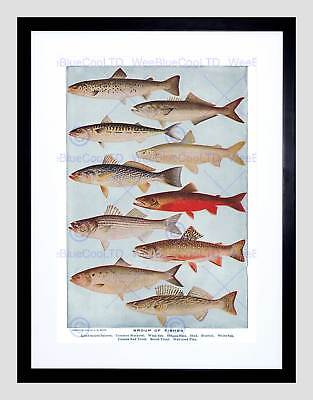 Drawing Scientific Fish Salmon Mackerel Trout Pike Framed Art Print B12X6734