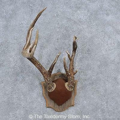 #15652 N+ | Whitetail Deer Antler Plaque Taxidermy Mount For Sale
