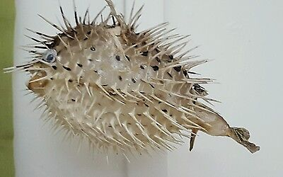 """Authentic 7 - 8"""" Porcupine Puffer Blowfish Dried and Coated for Preservation"""