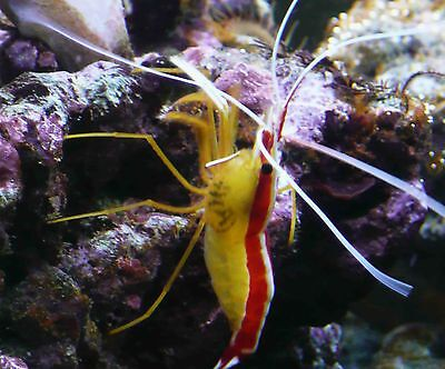 Cleaner Shrimp Clean up Crew Algae Eater CUC for Coral Reef Marine Aquarium
