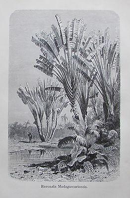 1896 RAVENALA MADAGASCARIENSIS alter Druck antique Print Lithographie