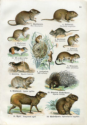 Antique Print Mice Guinea Pig Rat Porcupine c1900 Chromo Natural History