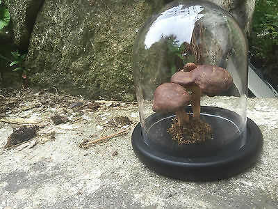 Vintage Botanical Mushroom Model (Xercocomus subtomentosus) Under Glass Dome