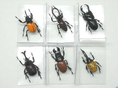 Magnet, Beetles 6 pieces in a box