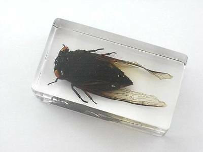 Real Insect paper weight, Cicada, real bug