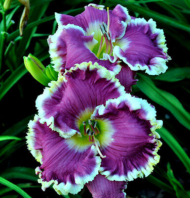 Daylily Seed (Cutting Loose x Blue Wrangler) (7) Seeds
