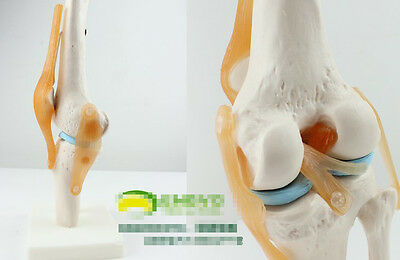 NEW Anatomical Anatomy Functional Knee-joint Medical Model 53