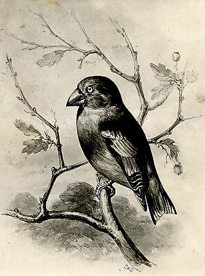 1876 Antique Bird Print - Philip Delamotte HAWFINCH - vintage wall art