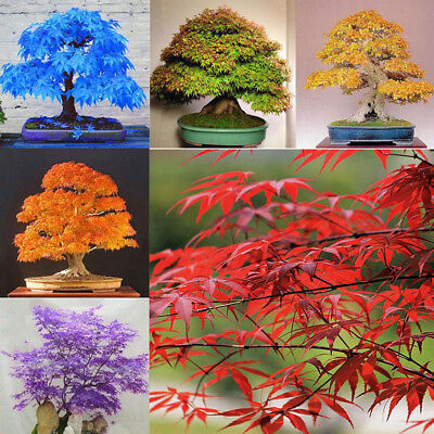 20pcs topfpflanzen samen blau rot lila gelbes blatt japanische ahorn bonsai baum eur 1 52. Black Bedroom Furniture Sets. Home Design Ideas