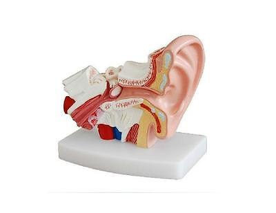 Human Professional Desktop Ear Joint Simulation Teaching Model Medical Anatomy