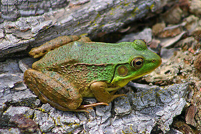 Green And Brown Frog Fine Art Greeting Card