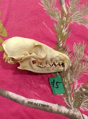 Real Red Fox Skull Unique Animal Mount Man Cave Bone Yard Decor Art And Crafts