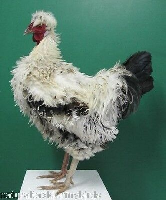 White & Black  Frizzle Rooster Real Bird Taxidermy Bird Mount
