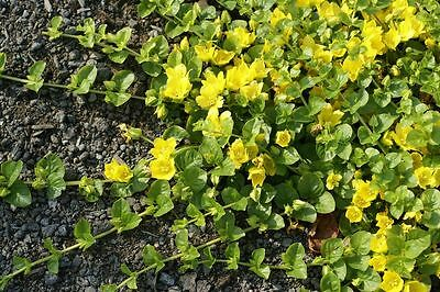 Lysimachia nummularia - Pond Plants - Creeping jenny - Marginal Pond Plants