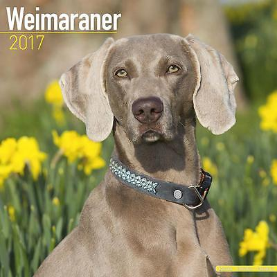 Weimaraner Dog 2017 Uk Square Wall Calendar New And Sealed By Avonside