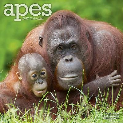 Apes Monkeys Gorillas 2017 Uk Square Wall Calendar New And Sealed By Avonside