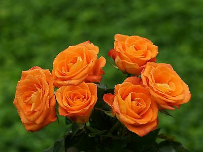 100 Semi Di Rosa Arancione - Orange Rose, 100 High Quality Seeds