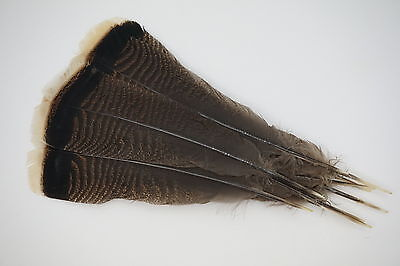 12 #1 Adult Merriam's Wild Turkey Tail Feathers/ Fly-Tying
