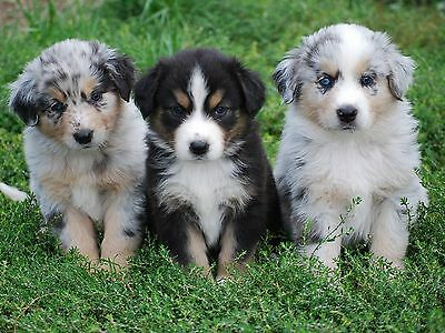 Pack of 4 Dog Australian Shepherd Puppy Puppies Dogs Notecards / Envelopes