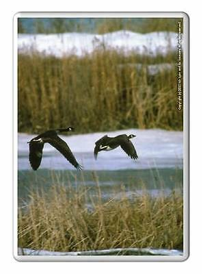 Canada Goose coats sale price - Fridge Magnet 50x35mm - Canada Geese And Goslings Swimming - Birds ...