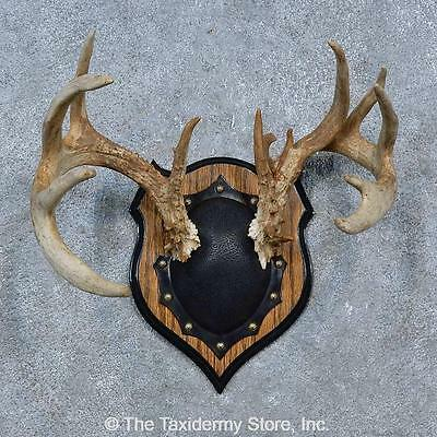 #15338 E+ | Whitetail Deer Antler Plaque Taxidermy Mount For Sale