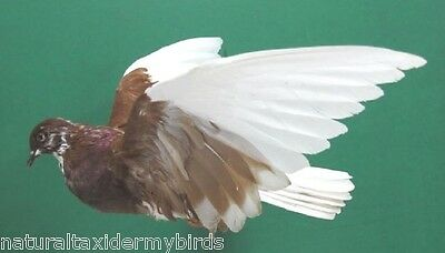 Flying Brown & White Pigeon Dove Real Bird Taxidermy Mount
