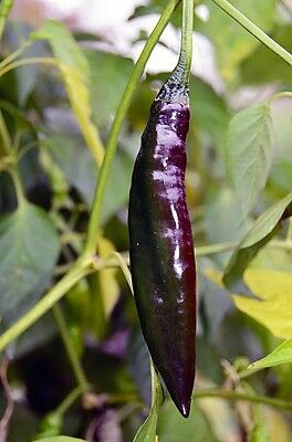 Pasilla Bajio - Hot Chilli Pepper, 100 High Quality Seeds