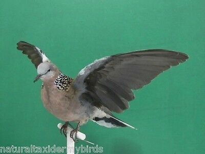 Wings Up Spotted Turtle Dove Real Bird Taxidermy Bird Mount