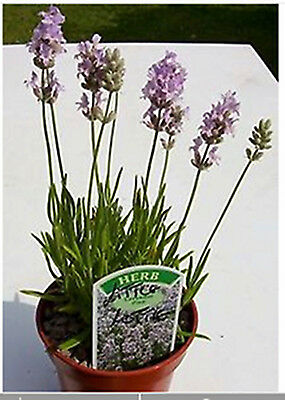 Lavender,Little Lottie. Fragrant Culinary Herb Plant