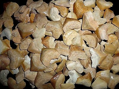 Lot of 20 fossil Squalicorax shark teeth from Morocco Megalodon grandfather era