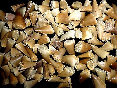 5 Mosasaur Dinosaur teeth fossil khouribga Morocco, Fossilized Dinosaur Teeth.
