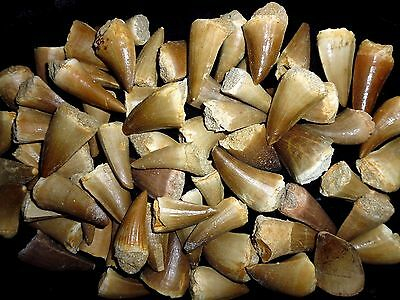 3 big Mosasaur Dinosaur teeth fossil khouribga Morocco Fossilized Dinosaur Teeth