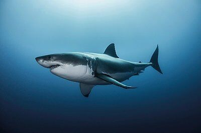 GREAT WHITE SHARK - Maxi Poster 61cm x 91.5cm PP33935 - 391