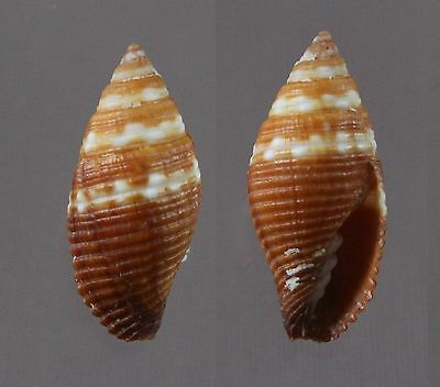 "Mitra aurantia f. nanus, 23.7 mm, F+++/GEM, ""VERY LARGE"""