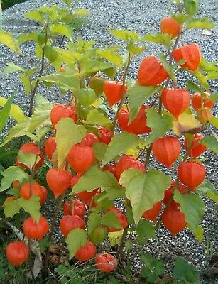 Seeds Tomatillo Zemlyanichnyy - Strawberry (Physalis Philadelphica) Organic Seed