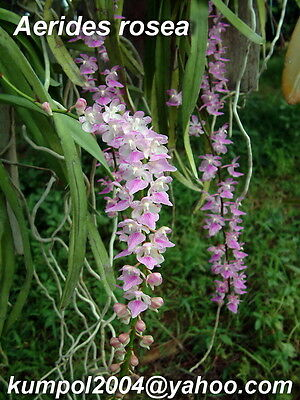 Orchid specie seeds: Aerides rosea - Year 2016