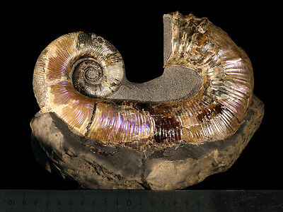 Ammonite from Russia AUDOLICERAS