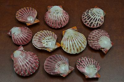 10 Pairs Orange To Red Polished Scallop Beach Seashell Craft #7970