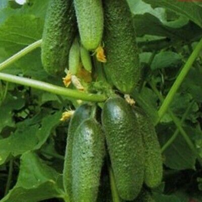 Seeds Cucumber Buyan F1 Russian Self Pollinating Pickling Variety