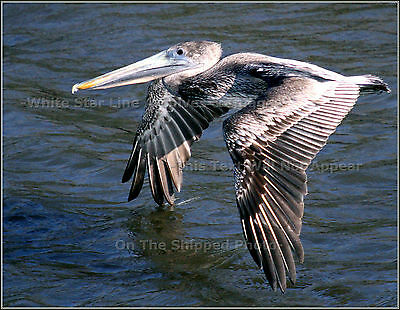 Photo: Adult Brown Pelican Leaves 'Wing Wake' In The Louisiana Bayou, 2006