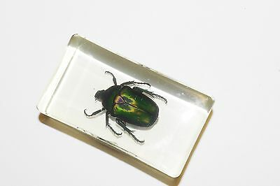 Real Insect Paper weight, in the clear acrylic, June Bug