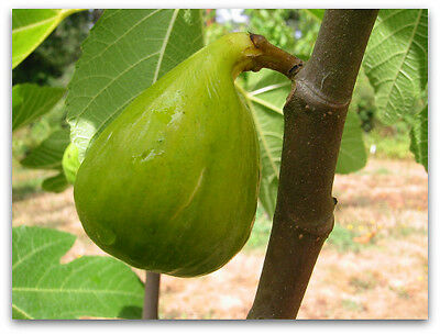 White Honey FIG TREE SEEDS  - Ficus carica - 100 SEEDS -GIANT FIG SEED - Fruit