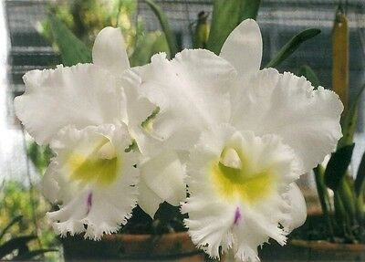 """ORCHID CATTLEYA  """"Pastoral Innocence"""" Large Blooming size pseudobulbs. Fragrant."""