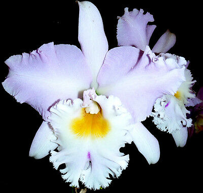"""ORCHID CATTLEYA  """"Pastoral Doris"""" Large Blooming size pseudobulbs. Fragrant."""