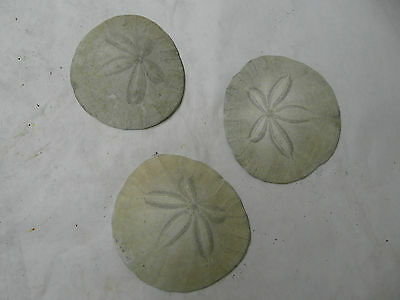 "Lot of 3 large sand dollars  3/1/2 "" x 3 3/4 """