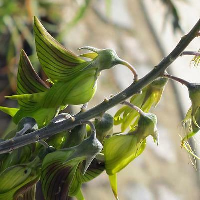 Regal Birdflower  ( Crotalaria cunninghamii ) 30 Seeds