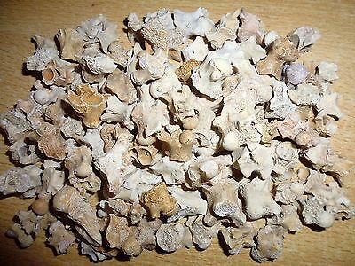 Lot of 10 fossil Sea Snake vertebreas from Morocco Dinosaur age fossils